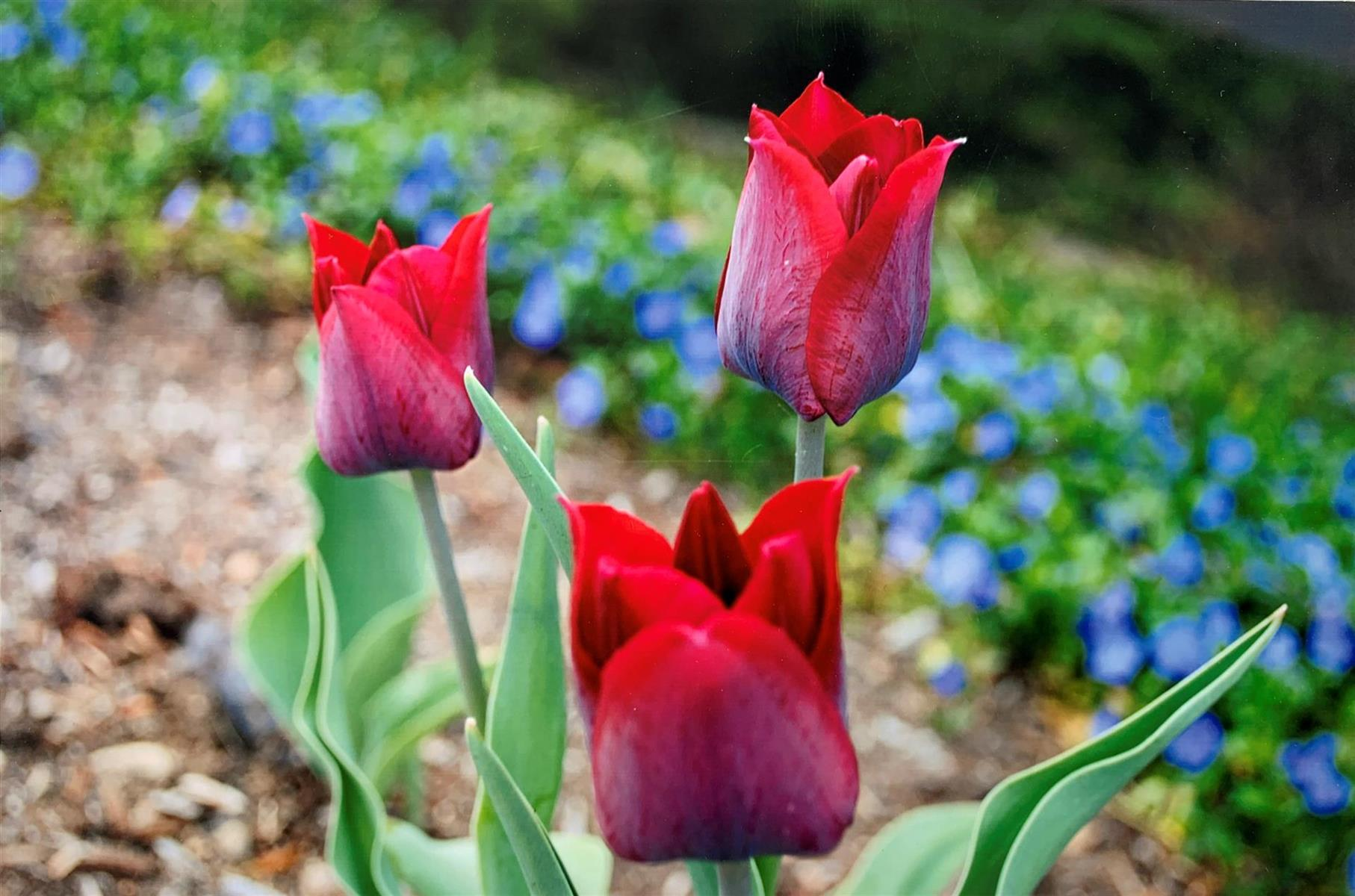 Tulips in the spring
